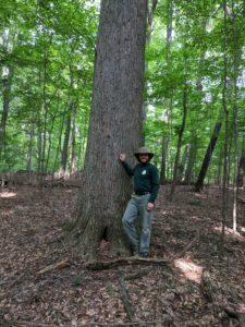 Large Medina county Ohio cuccumber tree